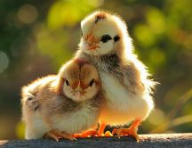 Love between brothers - two cute chickens