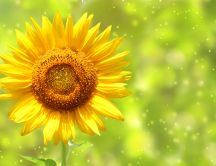 Sunflower - beautiful summer flower