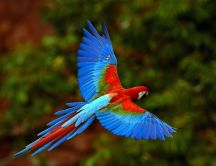 Colored parrot flying over the nature HD wallpaper