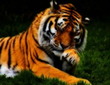 Beautiful tiger - a shy wild animal