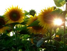 Sunflowers in the morning - beautiful garden