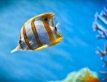 Beautiful Copper Band Butterfly Fish in an aquarium