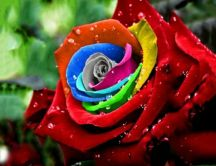 Rainbow rose - beautiful velvet petals
