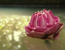 Beautiful pink Lotus flower from Asia