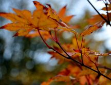Cooper-colored leaves of trees - autumn season