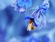 Bee on a blue flower - Macro HD nature wallpaper