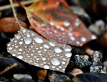 Big water drops on a autumn leaf - Macro HD wallpaper