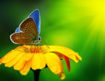 Blue butterfly on a yellow flower - Macro HD wallpaper