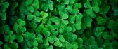 Green leaf clover wall - HD nature wallpaper