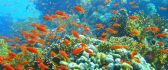 Coral reef and hundred orange fish - HD wallpaper