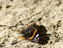 A Red Admiral (Vanessa atalanta) butterfly in autumn