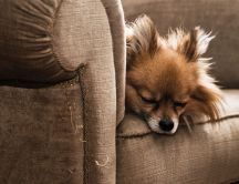 Do not sleep on the couch - little dog sleeping