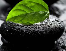 Green leaf on a black rock - macro HD wallpaper