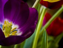 Purple tulip - beautiful pistil - macro HD wallpaper