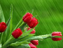 Rains over the beautiful red tulips - HD wallpaper