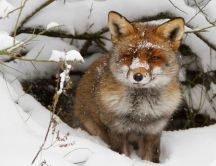 Sweet little foxy in the snow - HD winter wallpaper