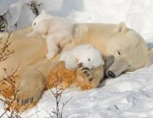 Sweet polar bears sleep on the snow