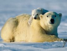 Little polar bear loves his mother - HD wallpaper