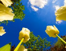 Yellow tulips in the golden sunlight - HD wallpaper