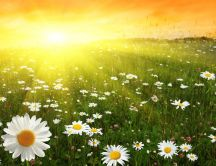 Beautiful daisies on the field - HD sunny day