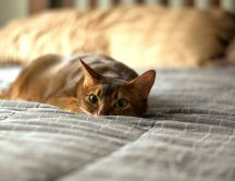Sweet cat is hiding in bed - HD wallpaper