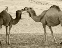 Kisses between two camels - HD wallpaper