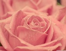 Fresh pink rose - lots of water drops