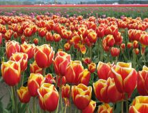 Field full of red tulips - fire colour
