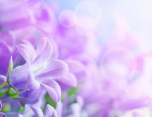 Beautiful purple spring flowers - HD wallpaper