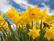 Beautiful yellow daffodils - magic spring time