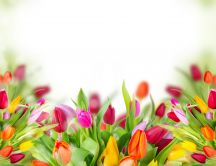 Wonderful tulips - enjoy the beauty of nature