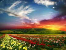Beautiful effects - field full of flowers on sunset