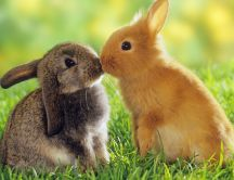 Love is in the air - rabbit kiss