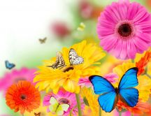 Colorful butterflies on the beautiful Gerberas flowers