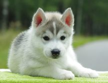 Fluffy little dog - beautiful animal