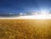 Golden wheat field - HD wallpaper