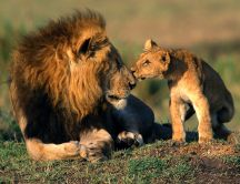 Lovely wild animals - sweet kiss from baby lion