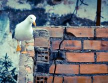 Seagull walking on walls - Beautiful HD wallpaper