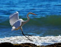 White crane landing on the shore - HD wallpaper