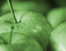 Green apples with fresh water drops - HD macro wallpaper