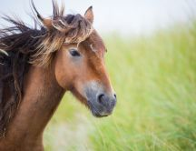 Beautiful brown horse in wind - HD free wallpaper