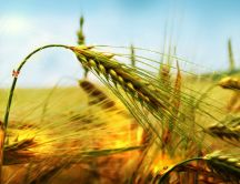 Golden ear of wheat - macro HD wallpaper