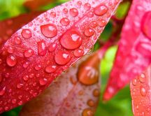 Big water drops on the red leaves - Macro HD wallpaper