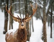 Beautiful deer in the forest - HD winter wallpaper