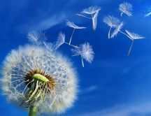 Beautiful dandelion puff in the wind - HD spring wallpaper