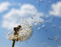 Spring time - Dandelion puff