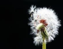 White dandelion on the dark background - HD wallpaper