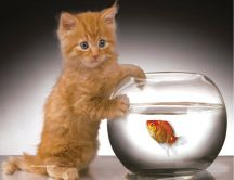 Little golden cat and the fish - HD wallpaper