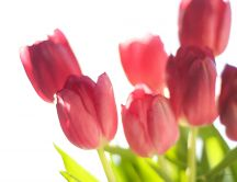 Red tulips in the sunshine - Spring flowers