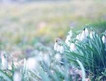 The symbol of spring - beautiful snowdrops